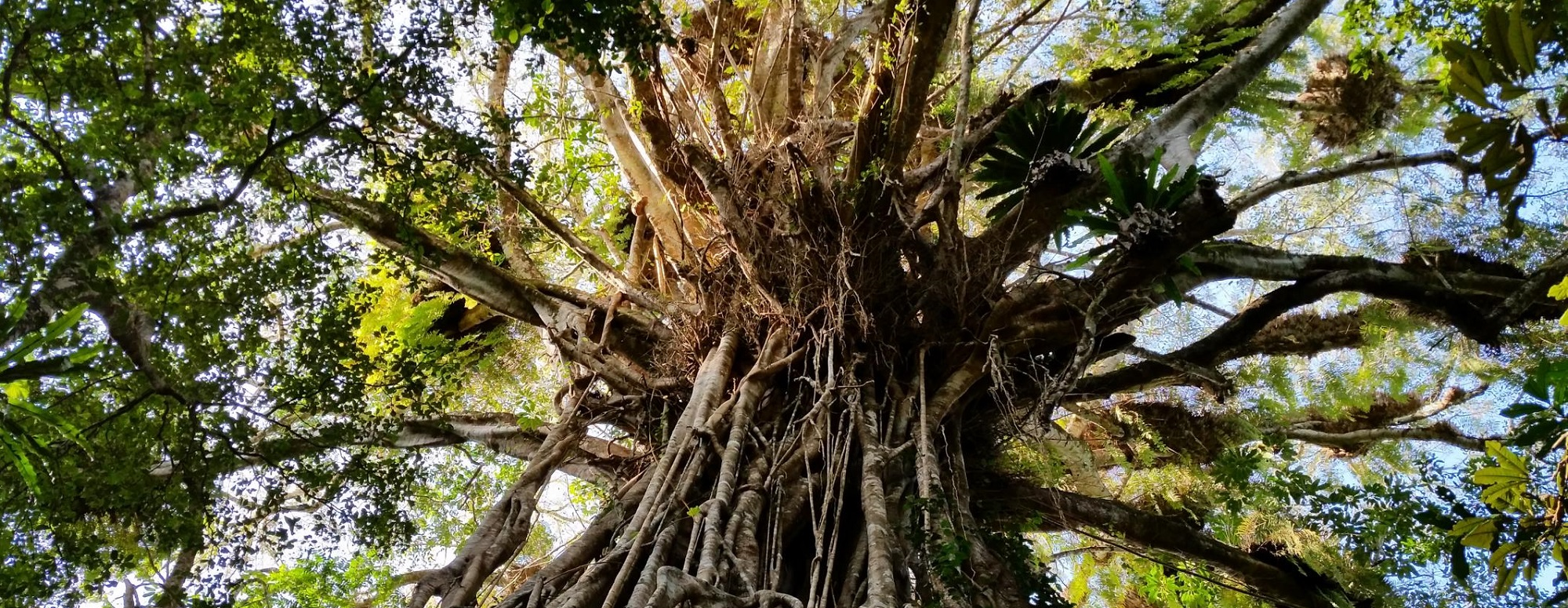 Cathedral Fig Tree Tinaroo Danbulla Atherton Tablelands