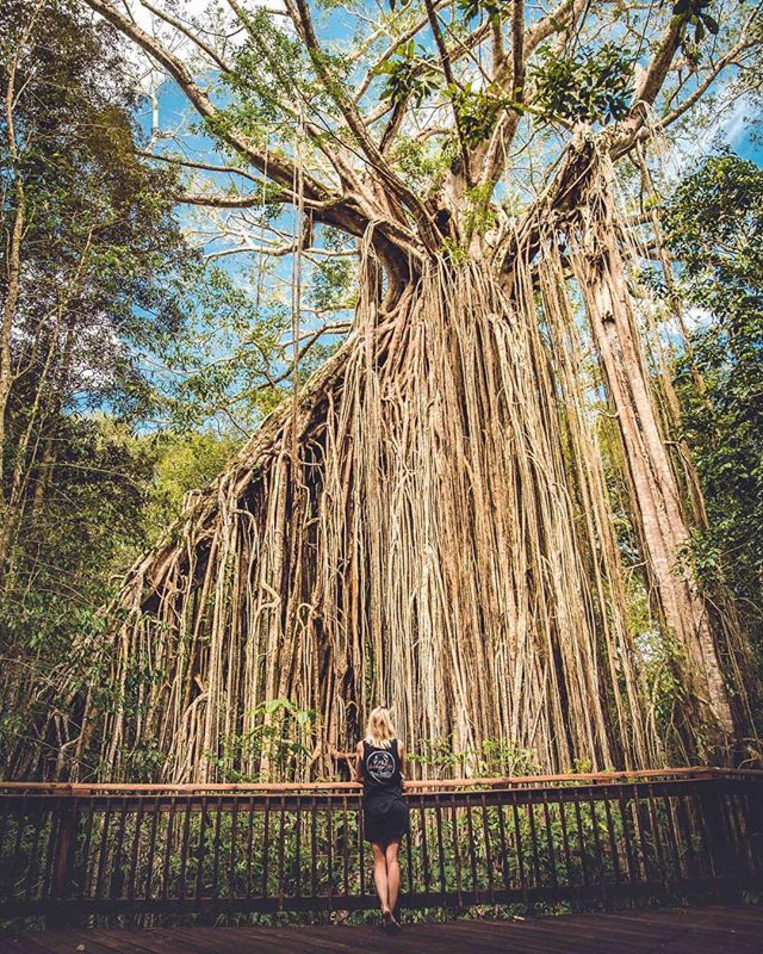 Short Walks on the Atherton Tablelands - Curtain Fig Tree by therawphoto