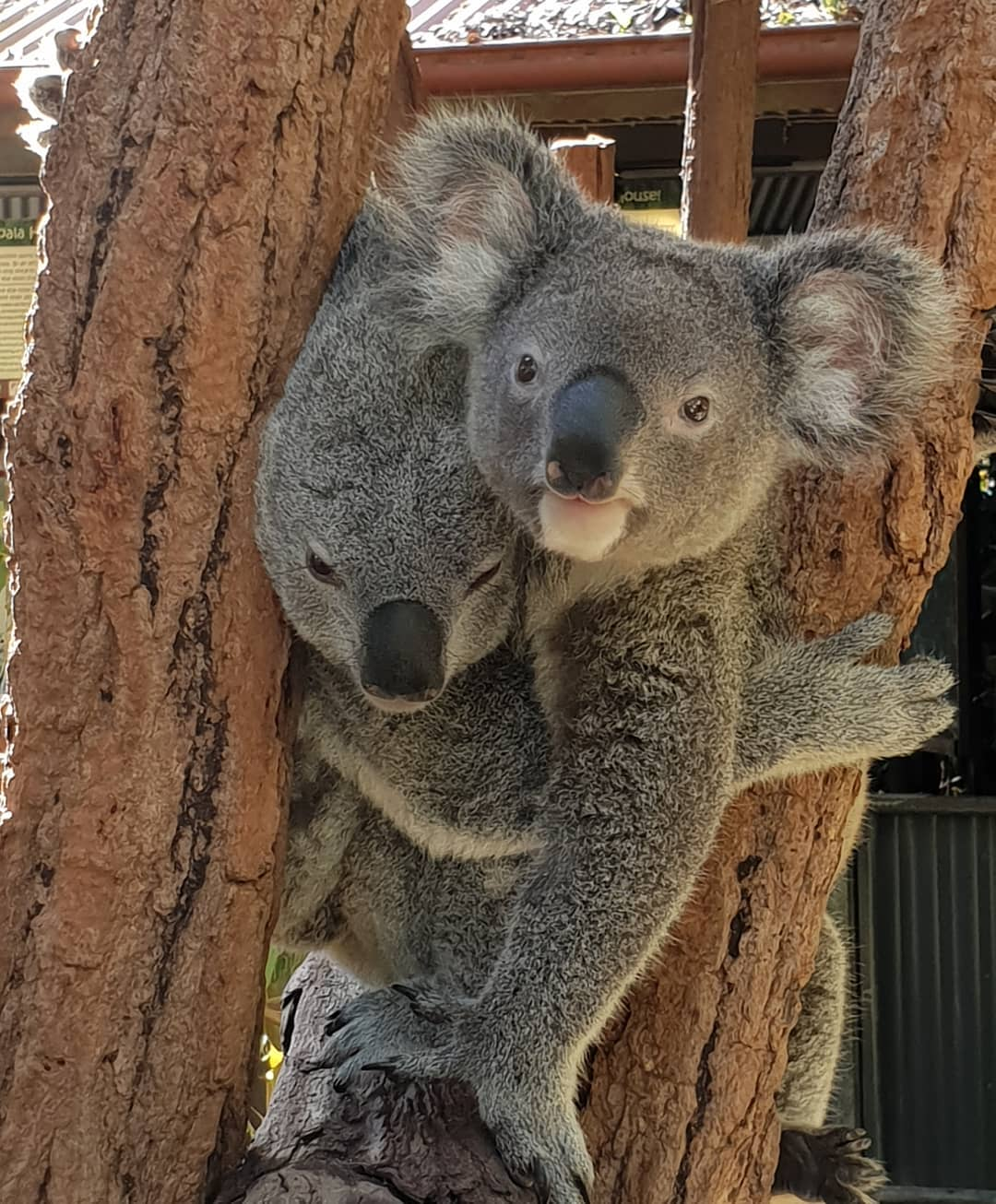 7 Family Friendly Things to Do on the Atherton Tablelands - Kuranda Koala Gardens